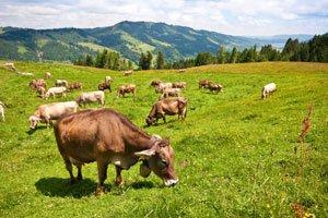 Freilaufende Tiere fressen mehr Bio-Futter.